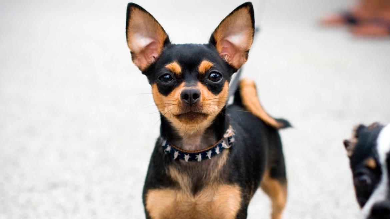 Chihuahuas Pelo Corto